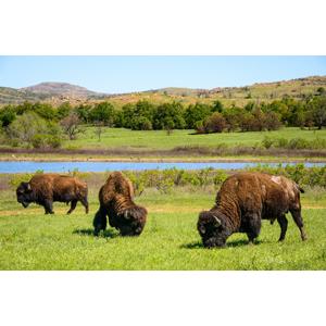 buffalo-300